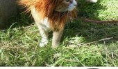A cat wearing a lion mane hair costume. Cuteness Overload meme. I'm a lion. Yes, yes you are.