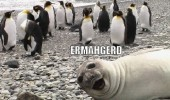 Ermahgerd animals meme of a seal. Ermahgerd perngwens. Omg penguins.