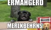 A funny black pug dog overly excited for Milk-Bone dog treats. Ermahgerd Merlkberhns.