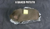 A funny meme picture of a brown guinea pig with a piece of butter on top of it. Day 42: The humans still think I'm a baked potato.