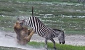 A lion attacking a zebra and getting kicked in the face. Not today bitch.