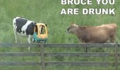 A funny meme of a cow with its head stuck in a toy car. Bruce you are drunk.