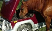 chill-out-bro-i-got-this-nobody-knows-horsepower-like-i-do-horse-car-meme