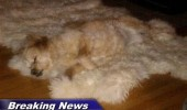 A funny picture of a dog lying down on a fur rug. Breaking news. Dog melts during a record heat wave.