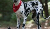 one-of-my-spots-just-fell-off-dalmatian-chihuahua-dog-meme