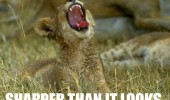 A meme of a lion cub with its mouth opened. This grass is sharper than it looks.