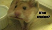 A funny picture of a hamster with a cracker in its mouth.