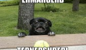 ermahgerd-animals-meme-pug-dog-ternershberl-tennis-ball