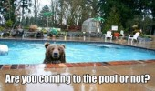 A funny picture of a bear swimming in a pool. Are you coming to the pool or not?