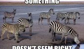 A funny picture of a lion that is disguised as a zebra in a group a unsuspecting zebras.