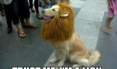 A dog wearing a lion costume. Trust me, I'm a lion