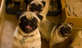 you-came-into-the-right-neighborhood-friend-pugs-dogs-meme