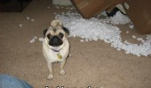 to-be-fair-you-did-leave-the-box-open-pug-dog-meme