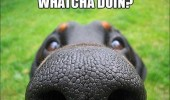 whatcha-doing-dog-nose-meme