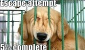 A funny picture of a dog's face that is trying to get through the bars of the cage.