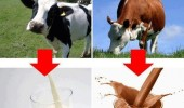 A funny picture which shows that chocolate milk comes from brown cows.