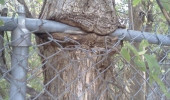 A funny picture of a tree eating a chain-linked fence.