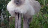 A funny picture of a cat sitting on two wooden posts.
