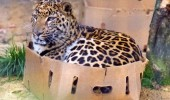 A leopard sitting inside a box.