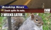 A funny fat squirrel picture. Breaking news. Truck spills its nuts. 2 weeks later. I regret nothing.