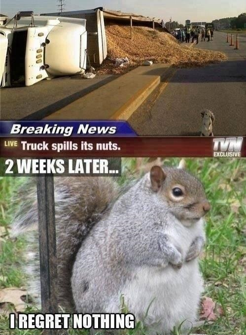 truck spills nuts funny fat squirrel meme lawlz laugh out loud on this humor site with funny pictures and